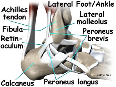 ankle_anatomy_tendons04.jpg